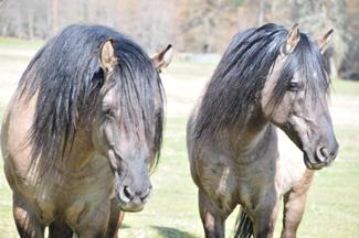 Double L Kiger Ranch - Kigers: Kiger Stallions at stud