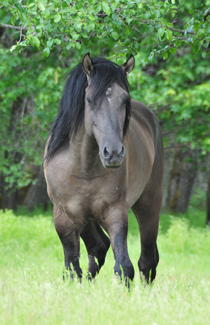 Double L Kiger Ranch Kigers Kiger Stallions At Stud